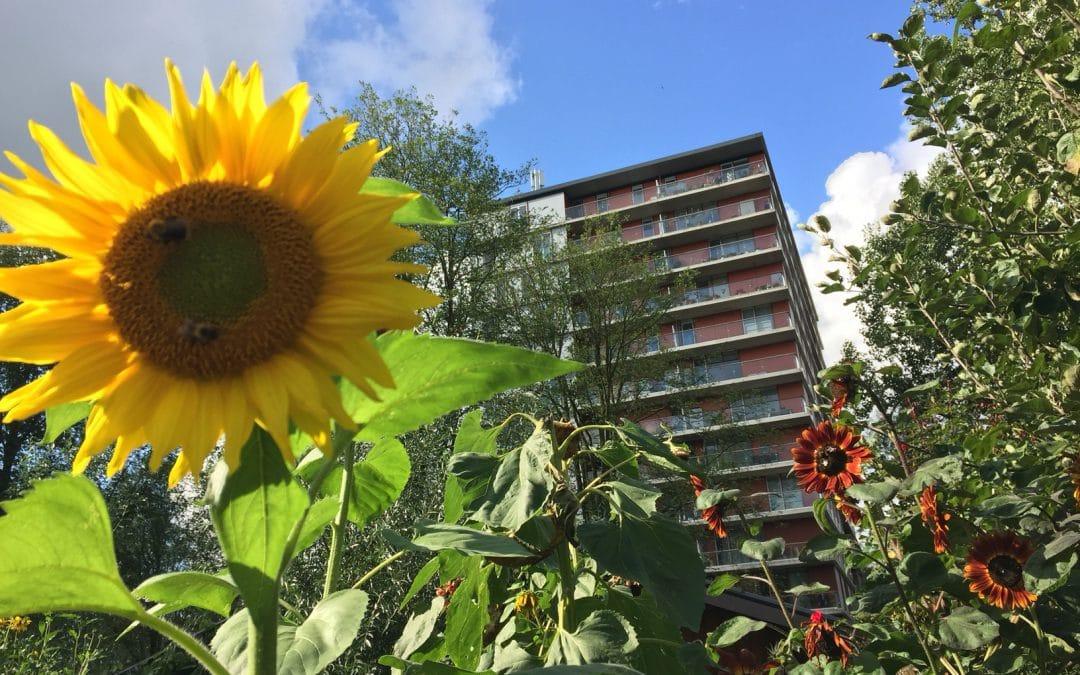 Wedstrijd: wie kweekt de hoogste zonnebloem?